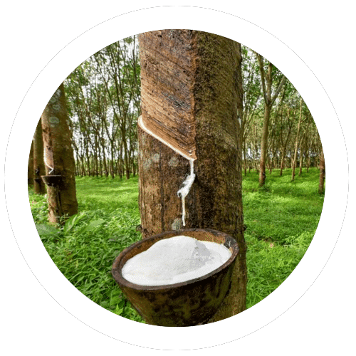 Rubber tree and milk